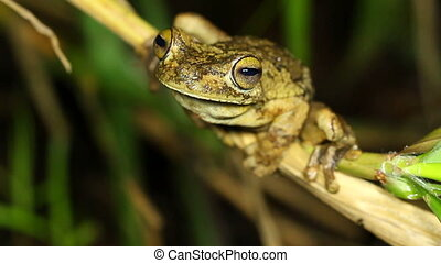 Rosenberg's Gladiator Treefrog - Hypsiboas rosenbergi, An...
