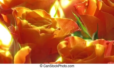 roses, коралловый