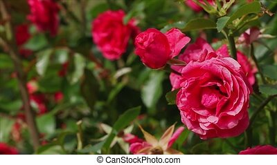 roses, красный