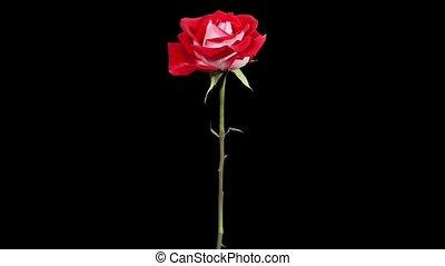 roses, цветок, красный, blooming