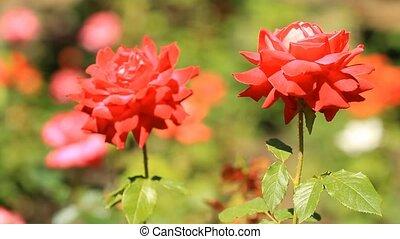 roses, цветок, расти, постель, красный