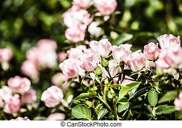 roses, buisson, jardin