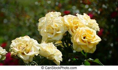 roses, buisson, parterre fleurs, jaune