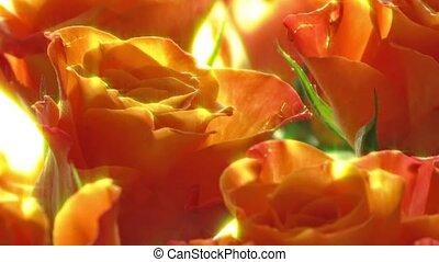 roses, corail