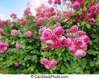 roses, ensoleillé, beau, printemps, rose, jour, jardin, escalade