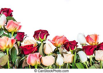 Roses flower isolated on white background