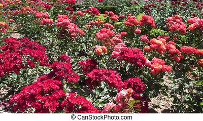 Roses Flowers In The Garden