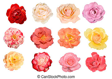 Several multi-colored roses, flowers, leaves and petals of bright colors roses isolated on white background