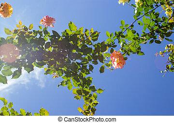 Roses From Below