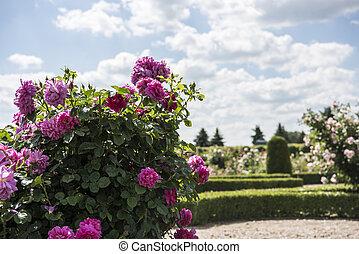 Roses garden in sunny summer day.