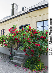 Roses growing near the house in a Swedish town Visby