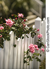 Roses growing over fence.