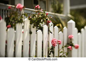 Roses growing over fence. - Pink roses growing over white ...