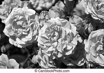 Roses in garden. Black and white photography.