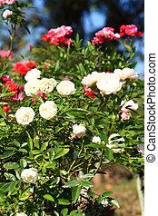 Roses in garden   - Roses in garden
