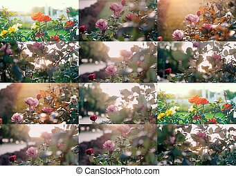 Roses in the garden. Set of colorized images with selective focus and shallow depth of field. Toned pastel color