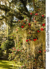 Old southern oak trees covered in spanish moss and a rose bush