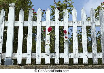 Roses on White Fence
