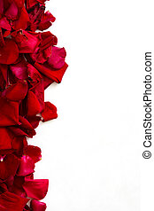 Roses petals on white background