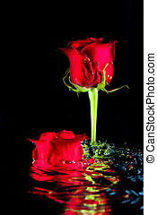 Roses rising up from water.