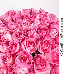 roses roses, fond blanc