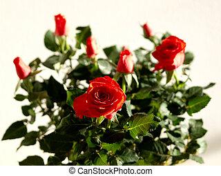 Roses - roses