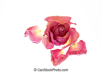 roses, séché