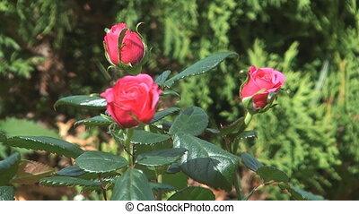 Roses. - HD 1080 closeup shot of beaute red roses.