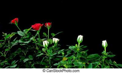 Roses Timelapse - Timelapse of roses blooming.