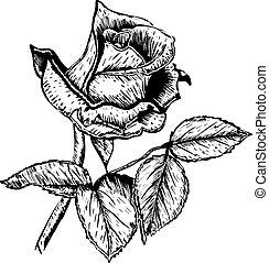 roses, vecteur, fleur, main, dessiné