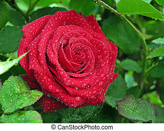 roses with water drops