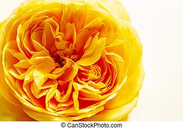 English Rose Stock Photo Images 3 477 English Rose