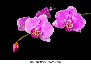 rosig, schöne , orchideenzweig, freigestellt, auf, schwarzer...