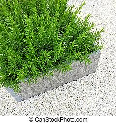 rosmarin, växt, inred, a, trädgård
