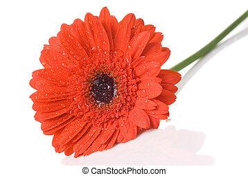 rosso, daisy-gerbera, con, gocce acqua, isolato, bianco