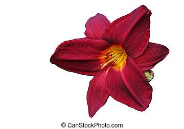 rosso, daylily