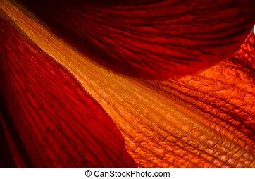 rosso, giglio, dettaglio