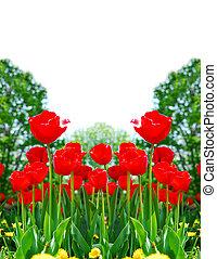 rosso, primavera, tulips