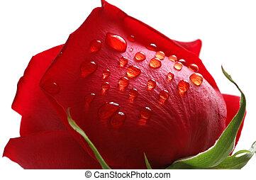 rosso sorto, con, gocce acqua, isolato, bianco