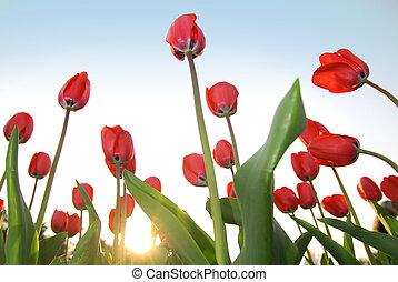 rosso, tulips, contro, cielo blu