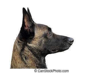 rosto, de, um, malinois, belga, pastor, cão, atento, para,...
