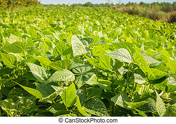 rostoucí, organický, mladický bob, semenáci, do, jeden, bojiště