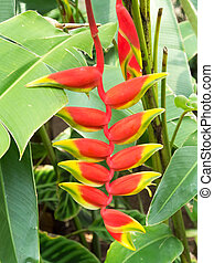 rostrata, heliconiaceae, heliconia