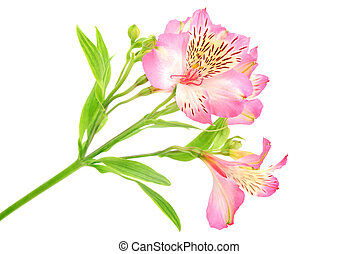 Rosy Alstroemeria Lily Spray isolated on white, green stem spray of more than one flower