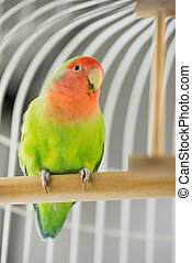 Rosy Faced Lovebird