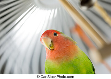 Rosy Faced Lovebird in a cage