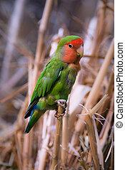 Rosy-faced Lovebird (lat. Agapornis roseicollis)