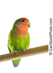 Rosy faced lovebird perched on a wooden rod