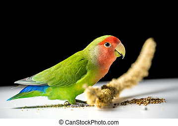 Side profile of an adult rosy-faced lovebird with scattered seeds over a dark background with copyspace.