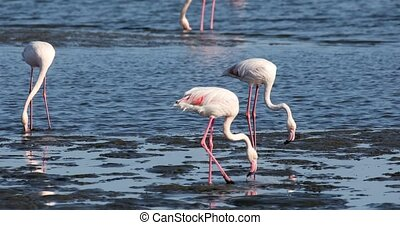 beautiful bird Rosy Flamingo feeds in the mud by the shore, very big colony in Walvis Bay reservation, Namibia, Africa Safari wildlife